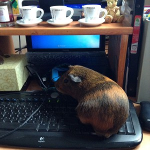 Chronic pain distraction provided by Buck the guinea pig